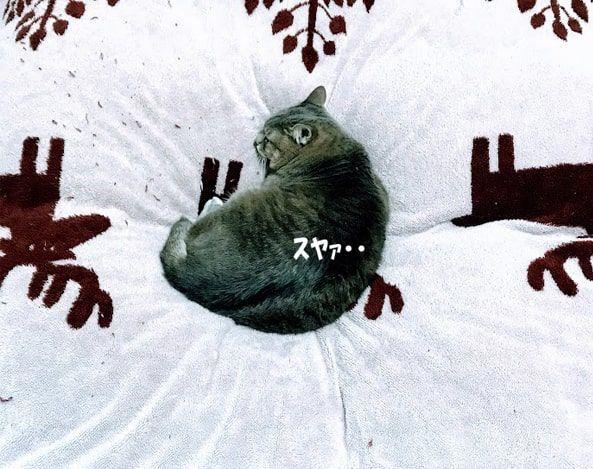 たぬき寝入りをする猫