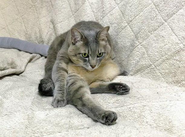 白いソファの上で毛づくろいポーズの猫