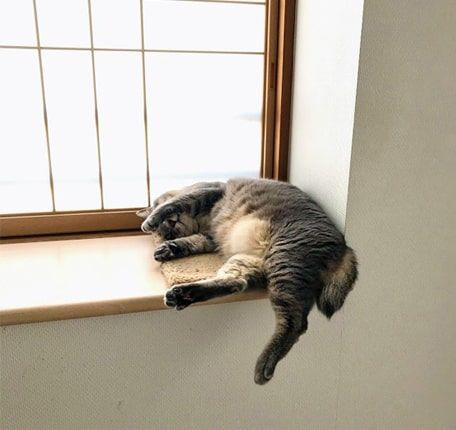 バランスを崩して窓際から落ちそうになる猫
