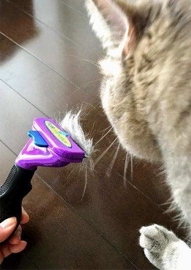 ファーミネーターに挟まる毛の匂いを嗅ぐ猫