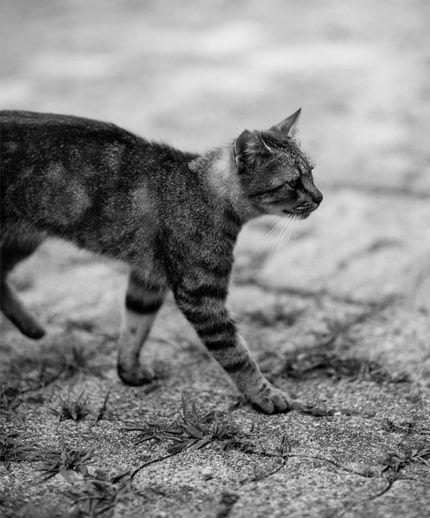 猫の歩く姿のモノクロ写真