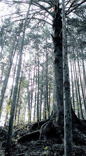 釜の沢五峰登山道にあるモミの巨木