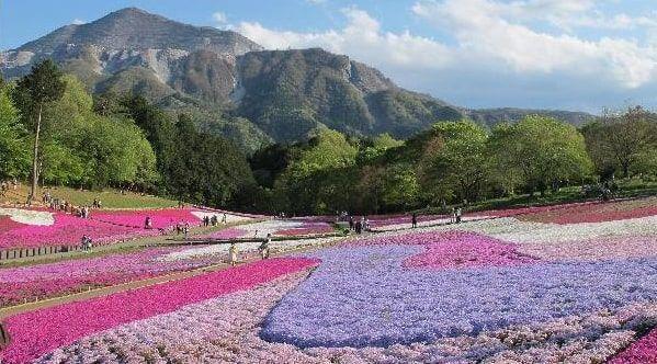 芝桜が満開の羊山公園