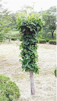 枝が無く葉っぱが沢山のイチョウの木