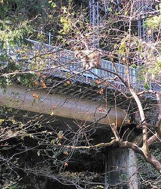 住宅街の柿の木に登る猿