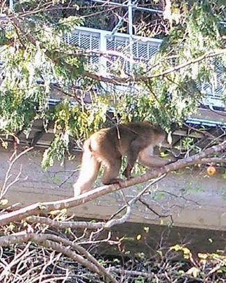 柿の木の登る猿のアップ