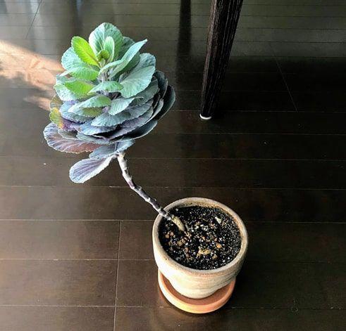 室内に置くと緑色に変化してきた葉牡丹