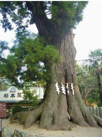 筑波山神社にある大杉