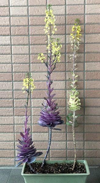 菜の花のように変化する葉牡丹