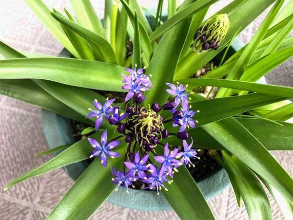 紫色の小さな花を沢山咲かせたシラー