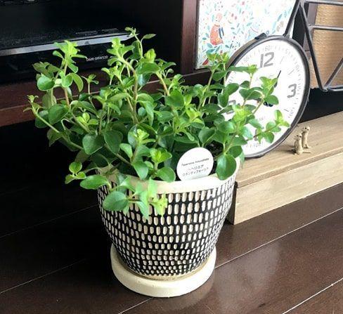 大きい鉢へ植え替えたペペロミア