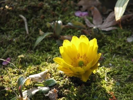 福寿草 福寿草 20080211  個別「福寿草」の写真、画像、動画