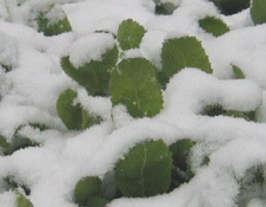 雪 高菜 阿蘇 熊本