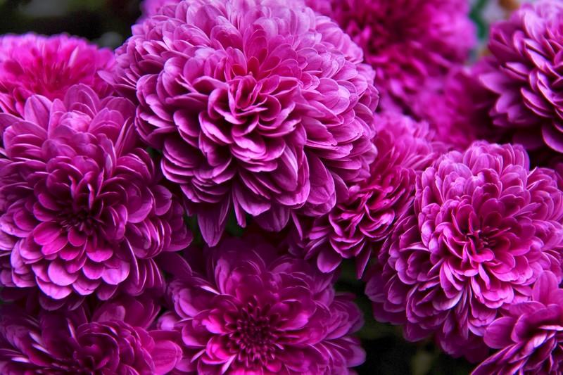 菊花言葉紫