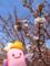 かわいい桜