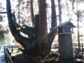 天然記念物『将軍杉』1(新潟県東蒲原郡阿賀町岩谷)