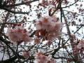 万代長嶺小学校の桜 20090308-01