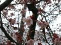 万代長嶺小学校の桜 20090308-02