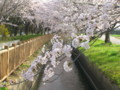 加治川治水記念公園の桜_20090412-02