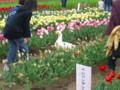 胎内市チューリップフェスティバル20090426-03