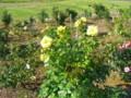 お杉ばら園(新潟市西蒲区石瀬)の薔薇1