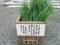 弥彦神社・茅の葉を配布-20090630