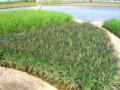 水と土の芸術祭2009-泥花プロジェクト(新潟市南区山崎興野)02