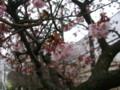 万代長嶺小学校の桜・20100313