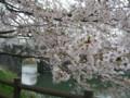 加治川治水記念公園の桜-20110426