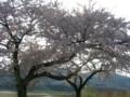 上堰潟公園の布目夫婦桜-20110427-02