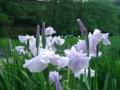 五十公野公園あやめ園(新発田市)201106-01
