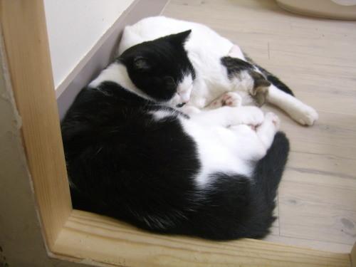 ねこコレ新潟店の猫2