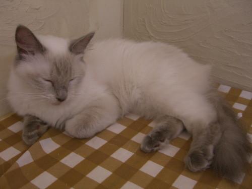 ねこコレ新潟店の猫4