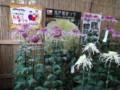 弥彦神社菊まつり2011(西蒲原郡弥彦村)01