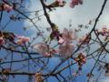万代長嶺小学校の桜・2016年03月23日
