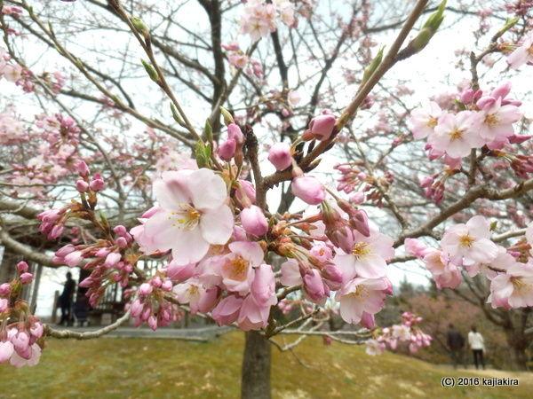 大峰山 桜公園(新発田市貝屋)2016年04月