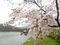仁箇堤の桜(新潟市西蒲区仁箇)2016年04月