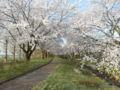 加治川治水記念公園の桜(新発田市真野原463‐1)2016年04月