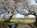 布目夫婦桜(新潟市西蒲区)2016年04月