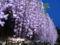 北方文化博物館・大藤棚ライトアップ2016(新潟市江南区沢海2丁目15-25