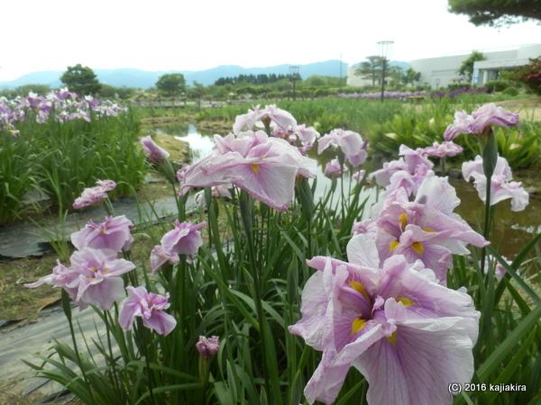 阿賀野市・瓢湖脇のあやめ2016(6/8)
