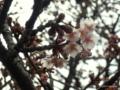 万代長嶺小学校の桜2017.02.27