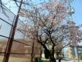 万代長嶺小学校の桜2017.03.17