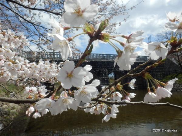 加治川治水記念公園(新発田市真野原)の桜2017