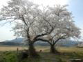 布目夫婦桜(新潟市西蒲区)