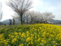 上堰潟公園(新潟市西蒲区)の菜の花、桜、角田山