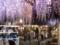 北方文化博物館・大藤棚ライトアップ2017【新潟市江南区沢海】