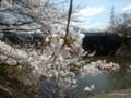 加治川治水記念公園の桜2018