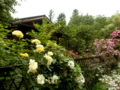 珈琲さとう(胎内市)の見事なバラ庭園
