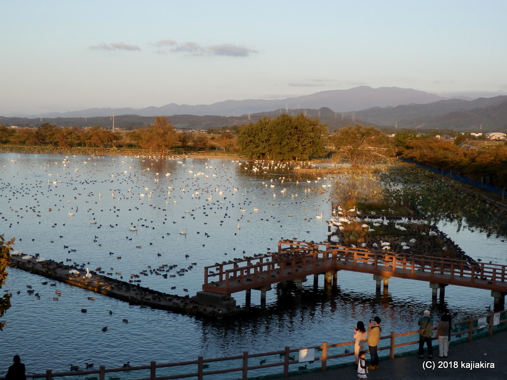 2018年秋、今年も瓢湖(阿賀野市)に白鳥飛来中